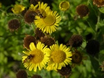 Common Fleabane (Pulicaria dysenterica)